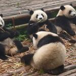 Cachorros de panda gigante