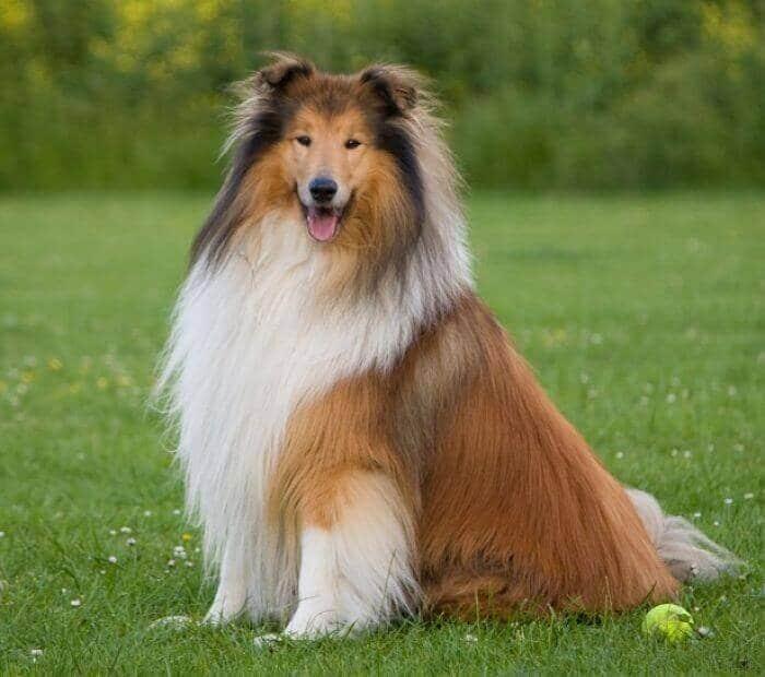 razas-de-perro-collie