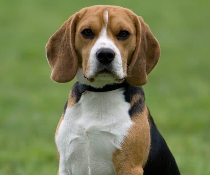 razas-de-perro