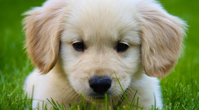 razas-de-perro-golden-retriever